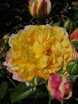 Belle De Jour - Rose of the Year 2021 - Deljaupar