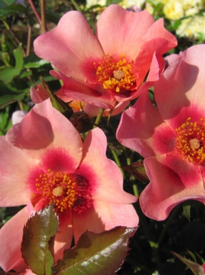 For Your Eyes Only - Rose of the Year 2015 - Cheweyesup