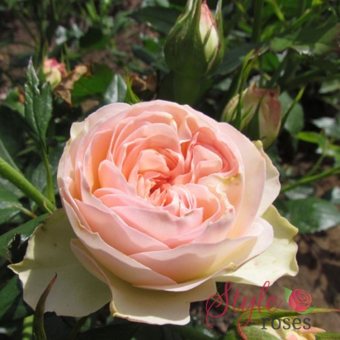 A Rose Of Distinction Rose