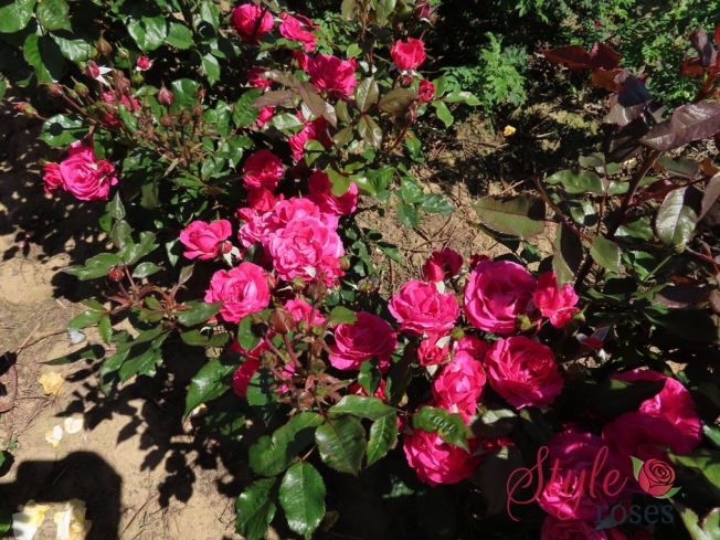 BEST OF FRIENDS - Pink Floribunda Garden Rose