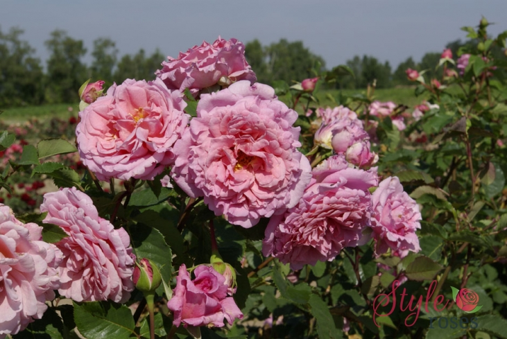 Bienvenue Shrub Rose Bush Style Roses