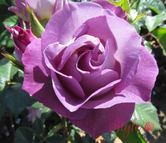 Blue For You Bush And Standard Rose Style Roses