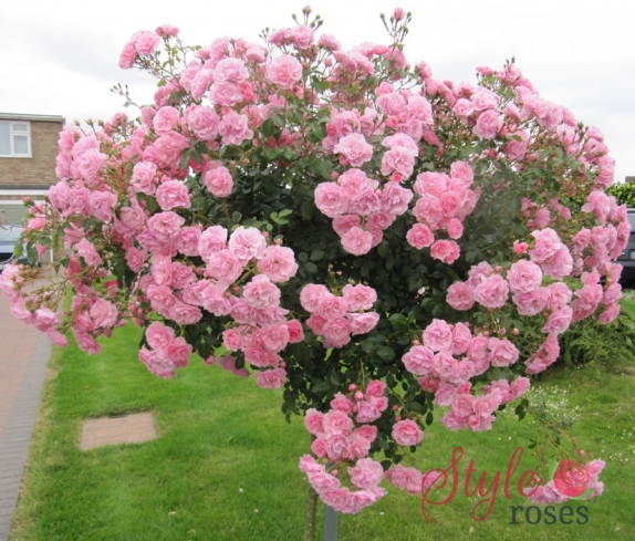 Bonica Bush And Weeping Standard Rose Style Roses