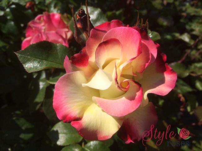 Chuckles Rose Bush Style Roses