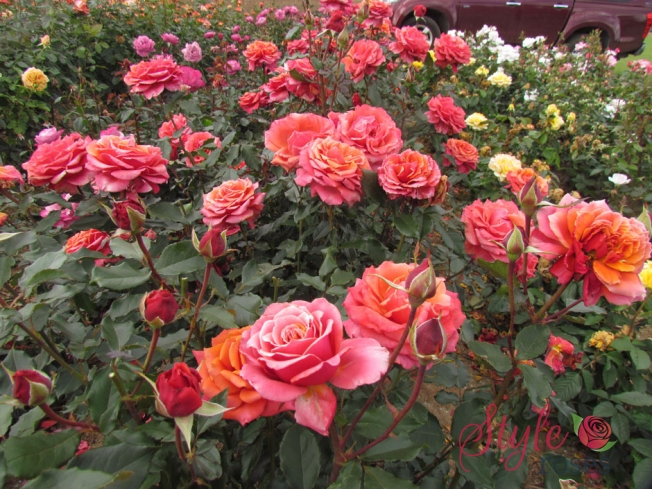Copper Lights New Zealand Hybrid Tea Rose Style Roses