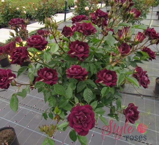 Diamond Eyes Standard Rose