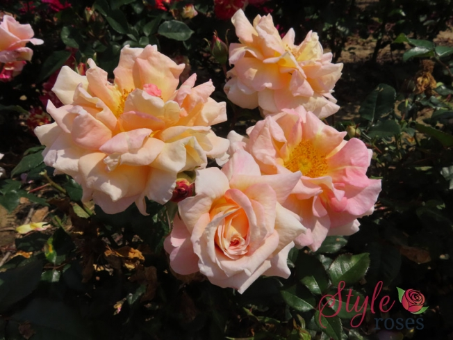 Emma - Candy Pink Hybrid Tea Garden Rose