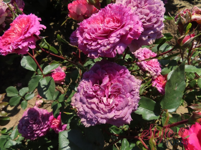 Frilly Knickers - Unusual Pink Floribunda Garden Rose