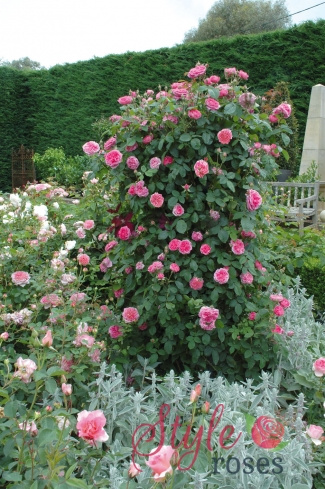 gertrude jekyll shrub climbing rose rose style roses. Black Bedroom Furniture Sets. Home Design Ideas