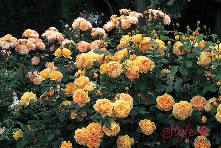 golden celebration shrub rose style roses. Black Bedroom Furniture Sets. Home Design Ideas
