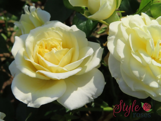 Happy Birthday To You - Garden Rose