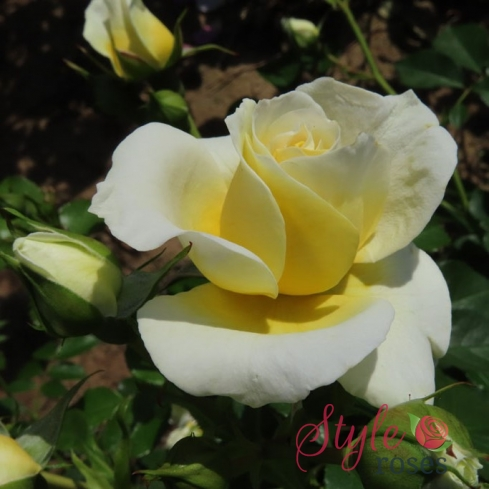 Happy Birthday To You - Lemon Floribunda Garden Rose