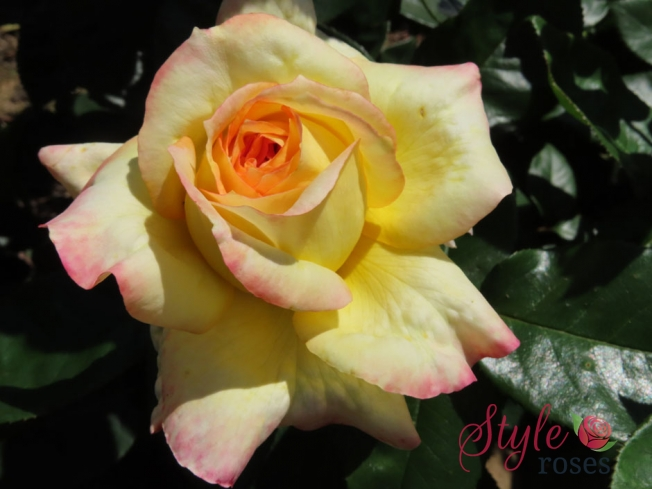Henri Delbard - Yellow Hybrid Tea Garden Rose