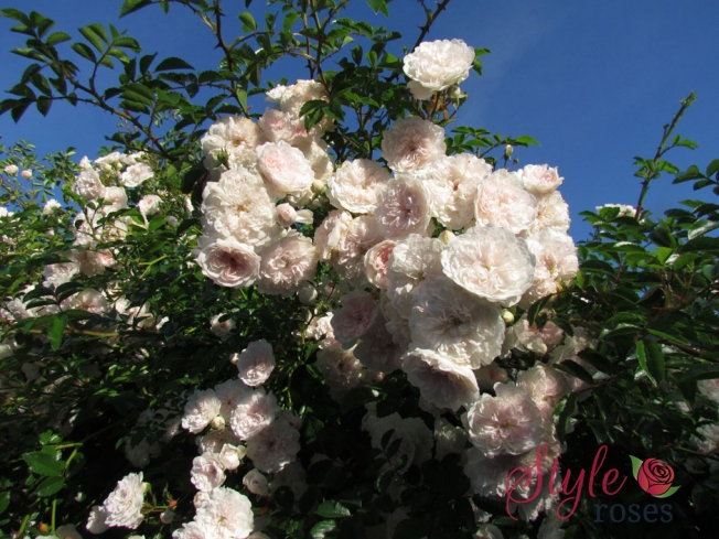Highworth Climbing Rose