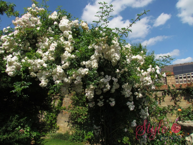 Highworth - Exclusive Climbing Rose