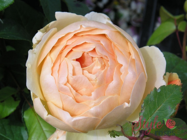 Jude The Obscure Shrub Rose Style Roses