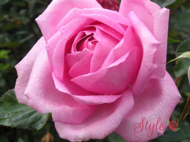 Millie Bush And Standard Rose Style Roses