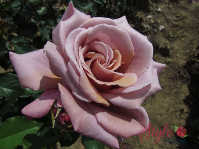 Simply Gorgeous Rose
