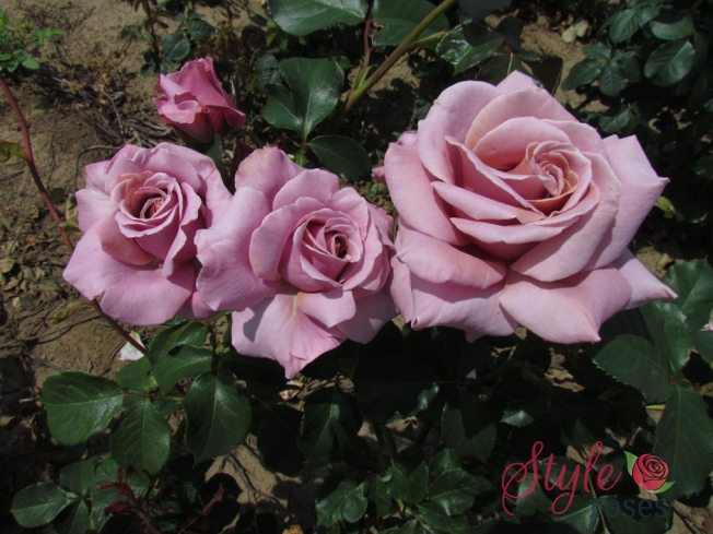 Simply Gorgeous Rose Bush Style Roses