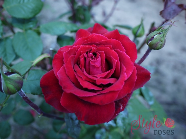 Red Parfum De Provence Rose Style Roses Style Roses