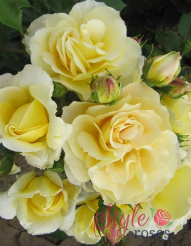 wonderful husband rose bush style roses