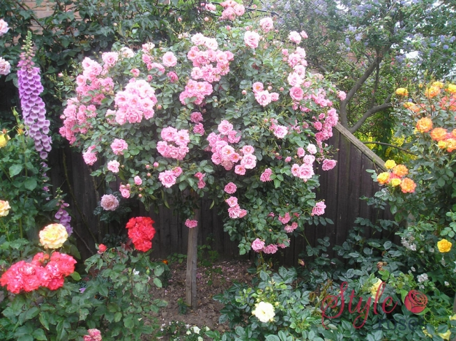 Surrey Ground Cover Rose Style Roses