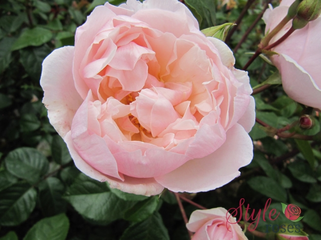 The Generous Gardener Shrub Climbing Rose Style Roses