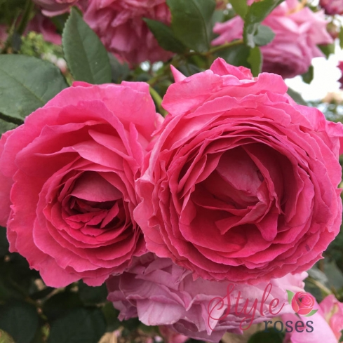 Ann fragrant pink floribunda rose