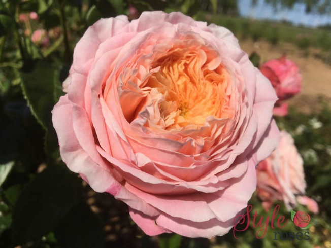 Domaine de Chatilly - Garden Rose