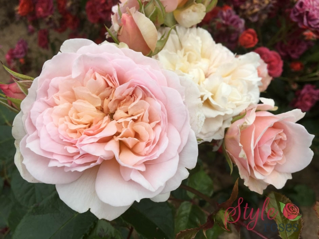 Emily Bronte - English Garden Rose from Style Roses
