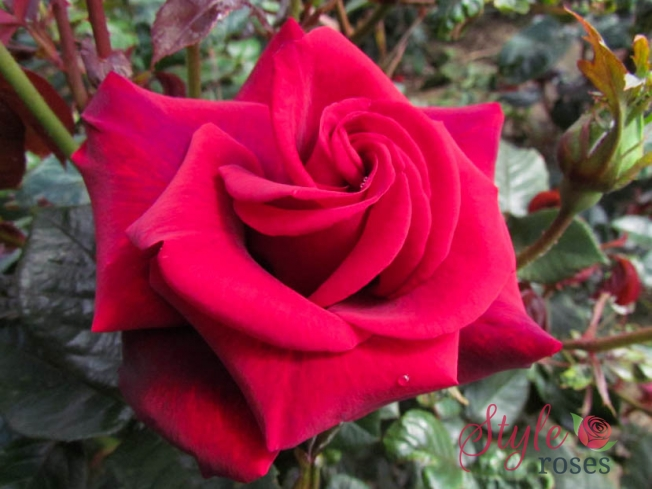 Fondest Love - Hybrid Tea Garden Rose