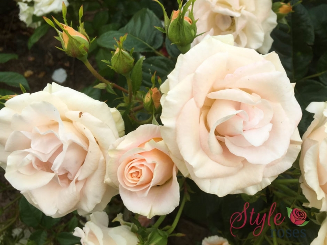 Just For You - Garden Rose