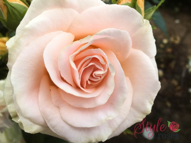 Blush Pink Garden Rose Just For You