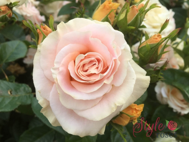 Just For You - Striped Floribunda Garden Rose