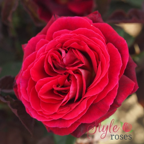 Love of My Life - Red Hybrid Tea