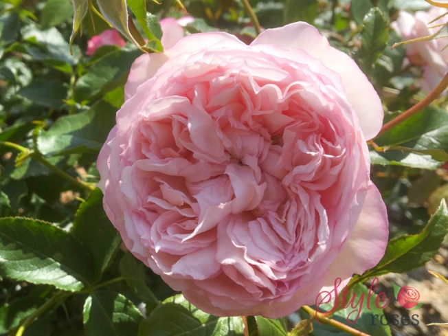 Mill on the Floss - David Austin Garden Rose