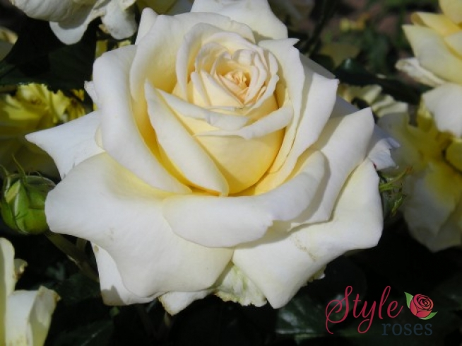 Style Roses Gift Voucher