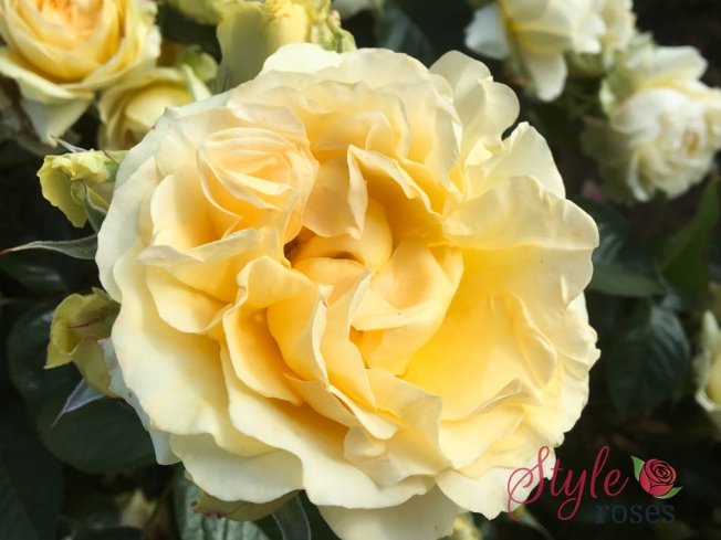 Our Angel - Yellow Garden Rose