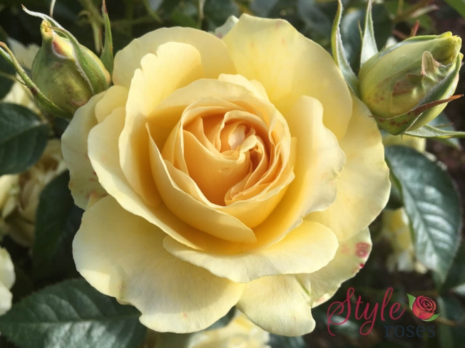 Our Angel - Hybrid Tea Garden Rose