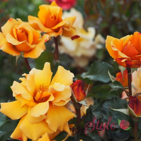 Pure Gold - Golden Yellow Hybrid Tea Garden Rose