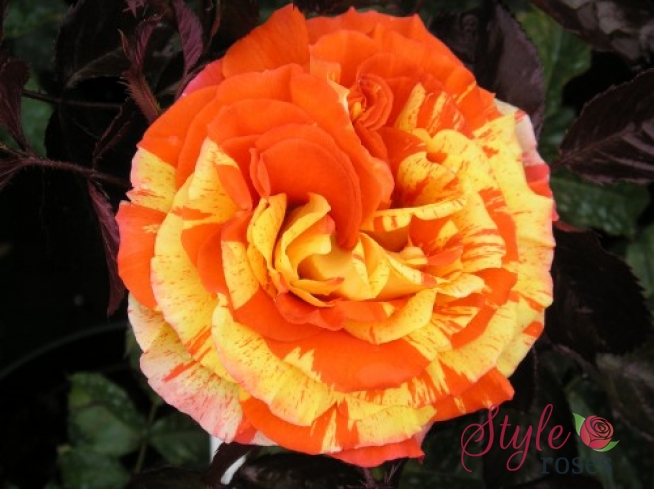 Oranges Amp Lemons Bush Rose Style Roses