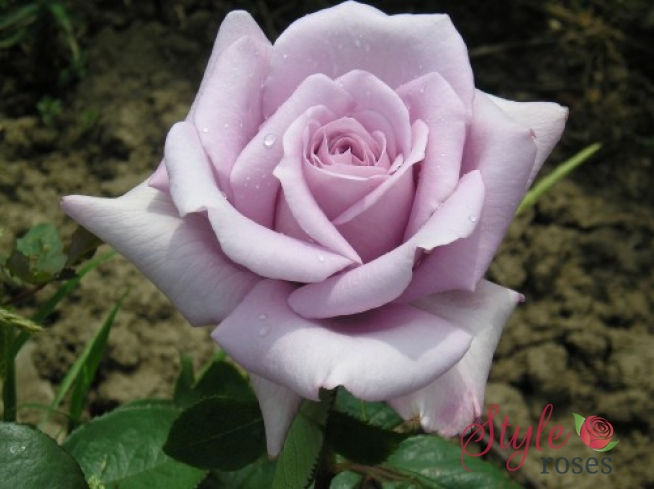 Twice In A Blue Moon Standard Rose Style Roses