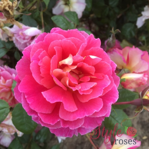 Someone Special - scalloped edged pink rose
