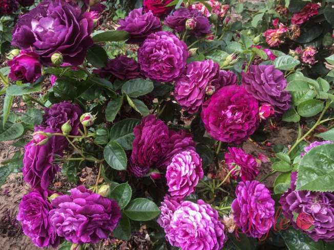 Twilight Zone Purple Floribunda Garden Rose Style Roses