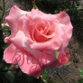 Blooming Marvellous Rose
