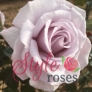 BLUE DIAMOND  (Athysumo) Rose