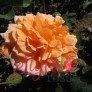 Dame Judi Dench Shrub Rose