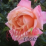 WONDERFUL FRIEND GARDEN ROSE