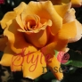 Pure Gold - Yellow Hybrid Tea Garden Rose