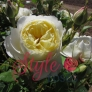 Vanessa Bell Shrub Rose